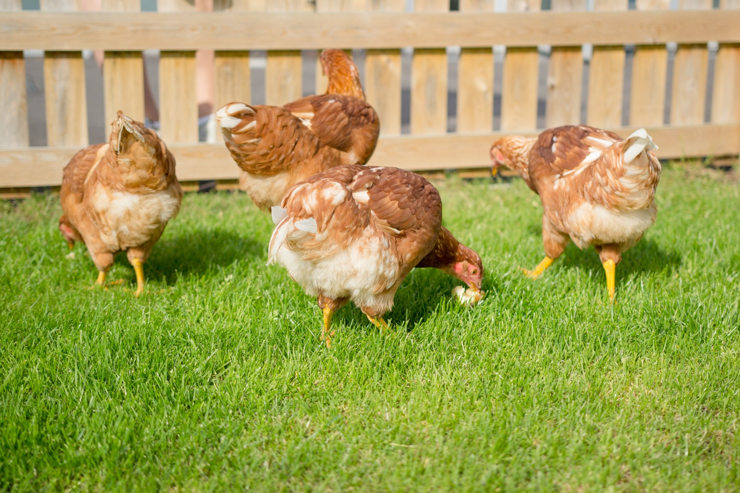 Chickens eating on the grass